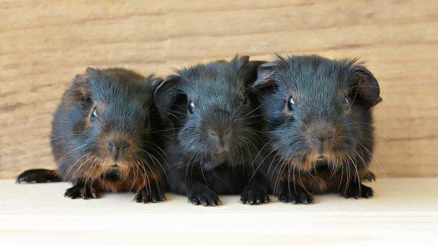 guinea-pig-849278_960_720